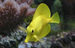 Un chirurgien jaune, en aquarium. On distingue bien le «scalpel» blanc, à la base de la queue.
