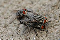 Flesh flies mating.jpg