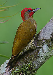 Flickr - Rainbirder - Rufous-winged Woodpecker (Piculus simplex) male