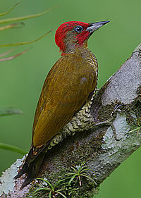 Flickr - Rainbirder - Rufous-winged Woodpecker (Piculus simplex) male.jpg
