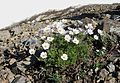Flickr - brewbooks - Anemone drummondii at the edge of snow.jpg