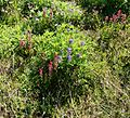 Flickr - brewbooks - Indian Paintbrush and Lupines.jpg
