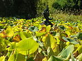 Flickr - brewbooks - Nelumbo Pond.jpg