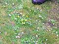 Flickr - brewbooks - Western Buttercup Ranunculus eisenii.jpg
