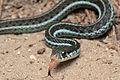 Flickr - ggallice - Bluestripe garter snake.jpg