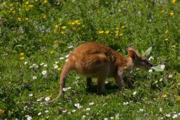 Pasoucí se klokan hbitý