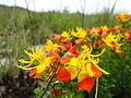 Flor do Cerrado.JPG