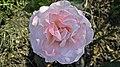 Floribunda - Cherish 6 (cr).JPG