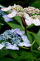 "Flower, Hydrangea ""Lilacina"" - Flickr - nekonomania (1).jpg"