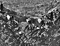 Flowers in black and white, Barbados (6792437968).jpg