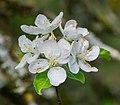 Flowers of Malus domestica (32).jpg