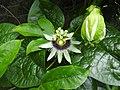 Flowers of Passiflora edulis.jpg