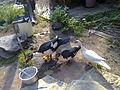 Flying ducks thottumukkom (7).jpg