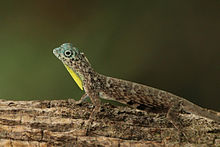 Flying lizard (Draco volans) male.jpg