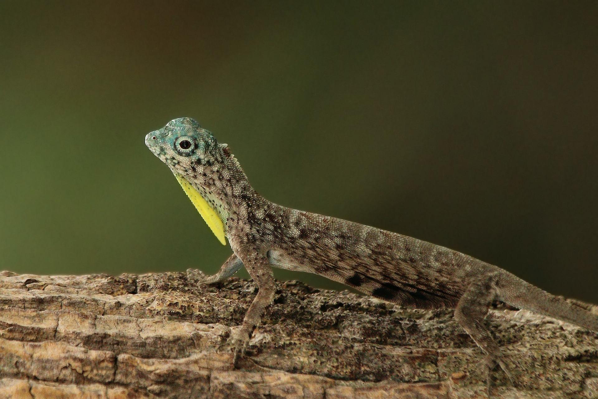 K Dragon Lizard Draco volans - ...