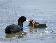 Focha y polluelos -common coot and chickens.jpg