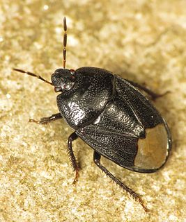 <i>Sehirus luctuosus</i> species of insect