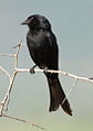 Fork-tailed Drongo, Dicrurus adsimilis, at Pilanesberg National Park, South Africa (15863024129).jpg