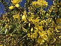 Forsythia at Mulberry Hill (32500138534).jpg