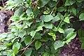 Forsythia suspensa in Christchurch Botanic Gardens 01.jpg