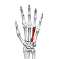 Fourth metacarpal bone (left hand) 01 palmar view.png