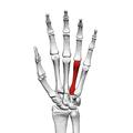 Fourth metacarpal bone (left hand) 01 palmar view.png