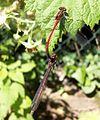 FrüheAdonislibelle auf einem Himbeerblatt.jpg