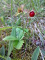 Fragaria vesca Norway Hurum.jpg
