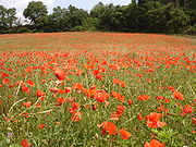 France aude limoux coquelicot.jpg