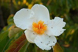 Franklin Tree Franklinia alatamaha Flower 3008px.JPG
