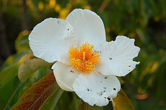 North American Atlantic Region - Franklinia alatamaha, endemic species of Georgia, now extinct in the wild