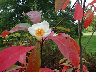 Franklinia - Flower and leaves in autumn
