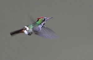 Frilled coquette - Lophornis magnificus caught in flight