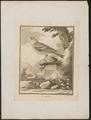 Fringilla coelebs - 1700-1880 - Print - Iconographia Zoologica - Special Collections University of Amsterdam - UBA01 IZ16000003.tif