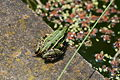 Frog 08062008.jpg