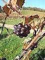 Fruit on the Vines - geograph.org.uk - 272938.jpg
