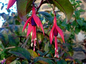 English: Fuchsia