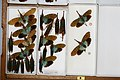 Fulgoridae Drawers - 5036726298.jpg