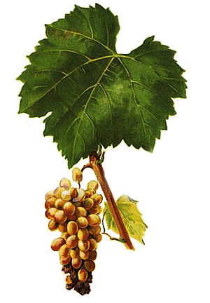 Furmint - Furmint grape cluster and leaf from Viala et Vermorel's 1901-1910 ampelography texts.