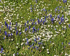 Gänseblümchen IMG 9277.jpg