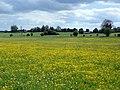 GOC The Pelhams 099 Buttercup meadow, Furneux Pelham (28037417120).jpg