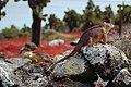 Galápagos land iguanas headbobbing (4202548840).jpg