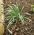 Galanthus nivalis seed.jpg