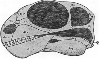 1910 in paleontology - Galepus skull