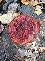 Ganoderma sessiliforme Murrill 815531.jpg