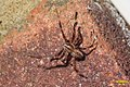 Garden spider (BG) (15915492579).jpg
