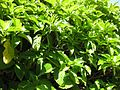 Gardenology.org-IMG 0314 rbgs10dec.jpg