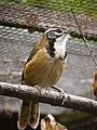 Garrulax pectoralis -UK -captive-6a.jpg
