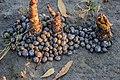 Gastropoda (Snails) in Barguna, Bangladesh.jpg