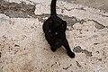 Gato negro en Mancha Blanca, Lanzarote 01.jpg